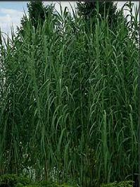 Growing for you arundo donax giant reed grass workwithnaturefo